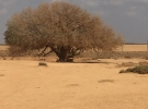 The Tree where Prophet SAW rested when going to Sham in Jordan